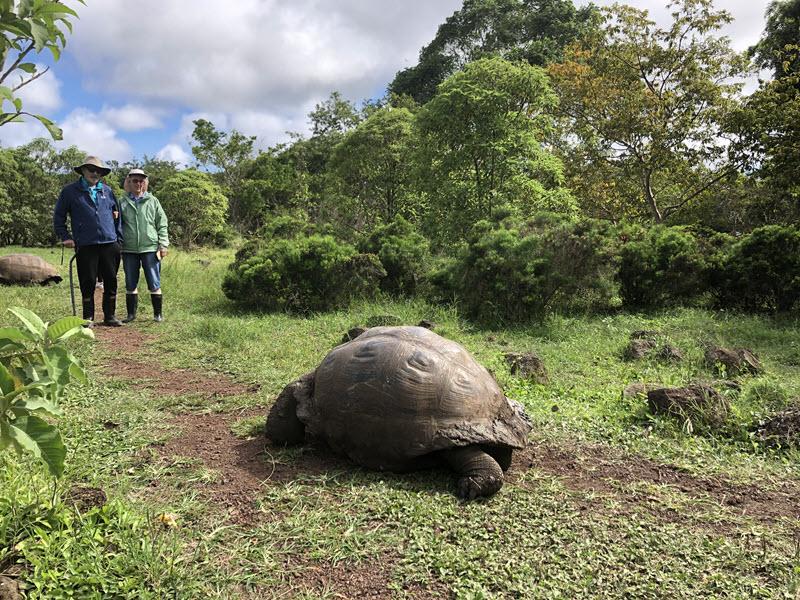 Wild giant tortoise on Santiago Island