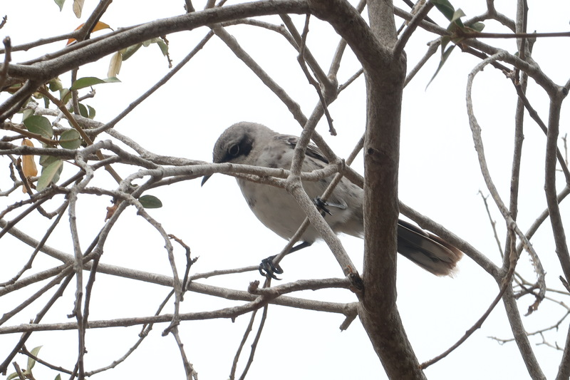 Mockingbird on San Cristobal island