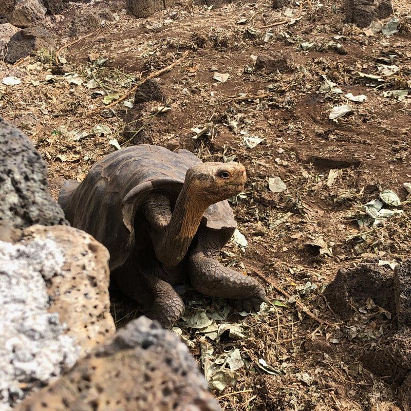 Charles Darwin Research Station giant tortoise breeding