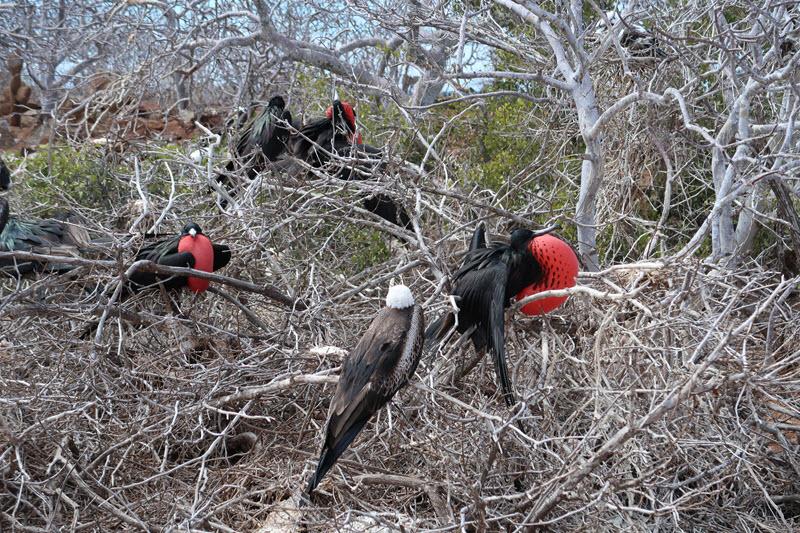 Frigate bird red pouch