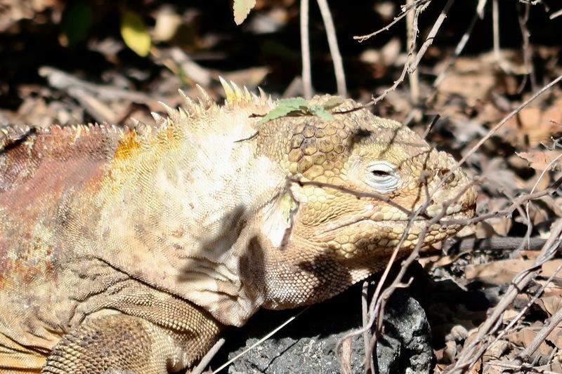Isabela Island land iguana
